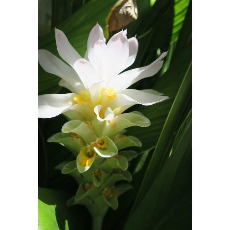 Curcuma petiolata 'Emperor'