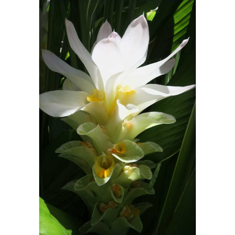 Curcuma petiolata 'Emperor' - variegated hidden ginger