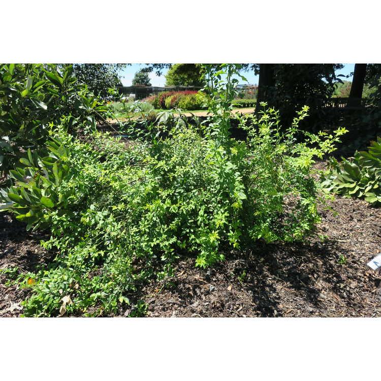 Jasminum mesnyi 'Gold Tip' - variegated primrose jasmine