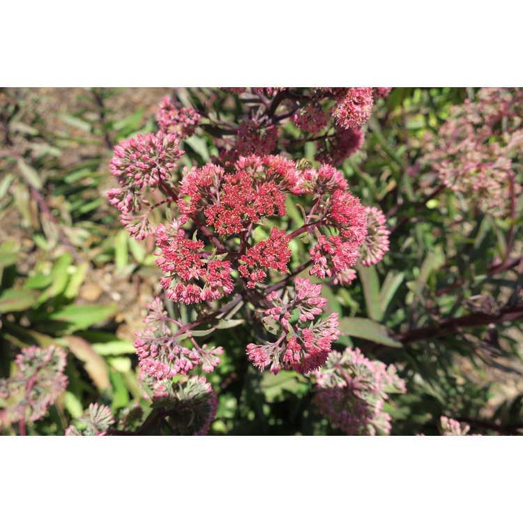 Sedum 'Garbro' - Garnet Brocade stonecrop