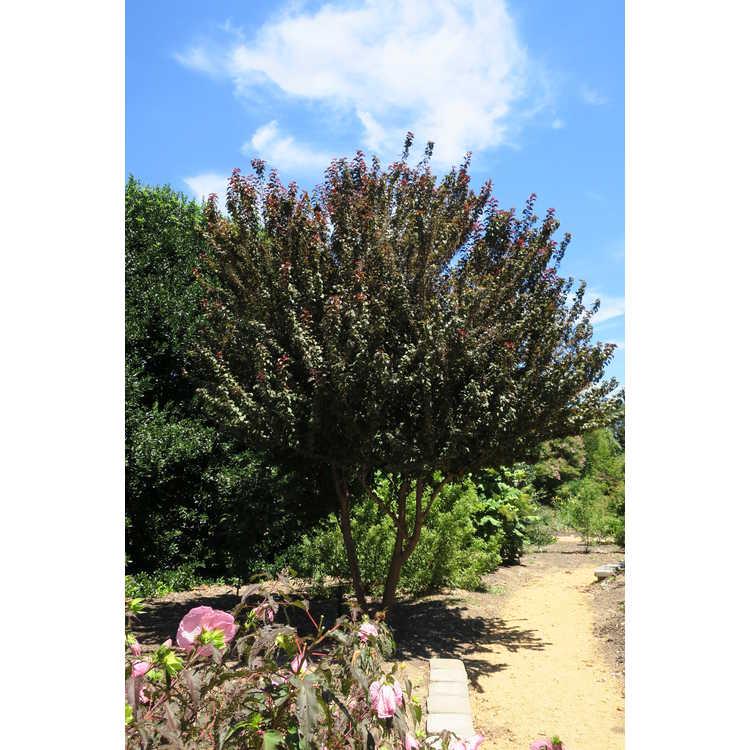 Prunus 'Purple Pride'