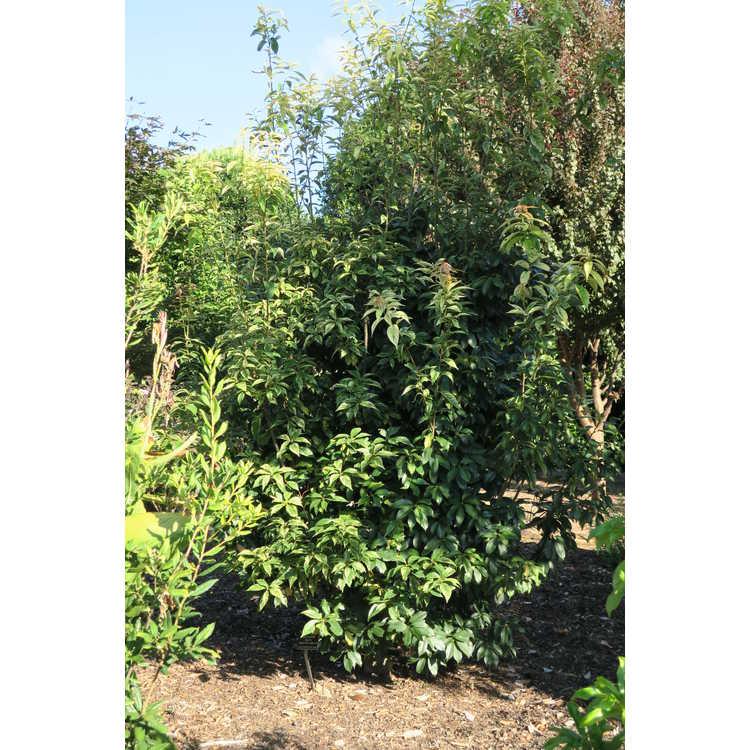 Quercus glauca 'Shima Fu' - variegated Chinese evergreen oak