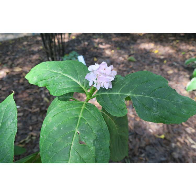 Hydrangea macrophylla 'Yuki temari' - French hydrangea