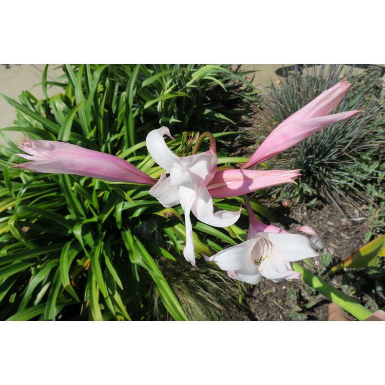 Crinum 'Peachblow' - hybrid crinum-lily