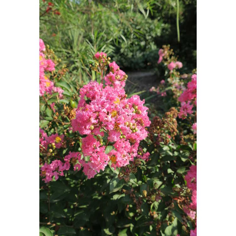 Lagerstroemia CP 09 DS 402