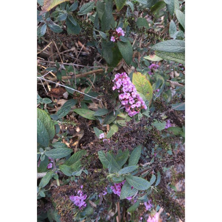 Buddleja 'Pink Micro Chip' - Lo & Behold dwarf butterfly-bush