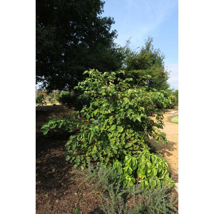 Cercis canadensis 'Mardis Gras' - variegated eastern redbud