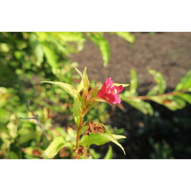 Weigela florida 'Carlton' - Ghost white-leaf flowering weigela