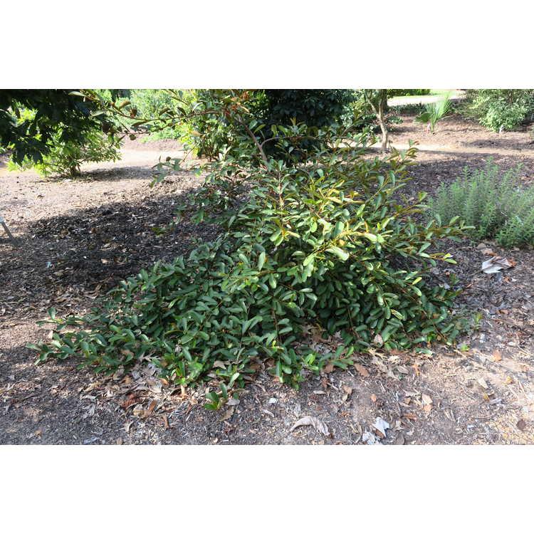 Magnolia laevifolia 'Snowbird'