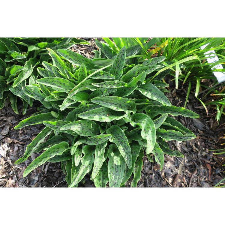 Drimiopsis maculata 'Slow Fade' - African false hosta