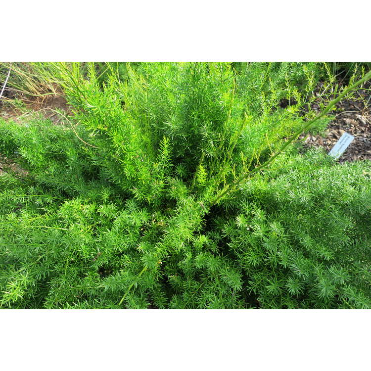 Asparagus densiflorus 'Hardy Sprengeri'