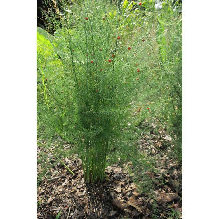 Asparagus oligoclonos