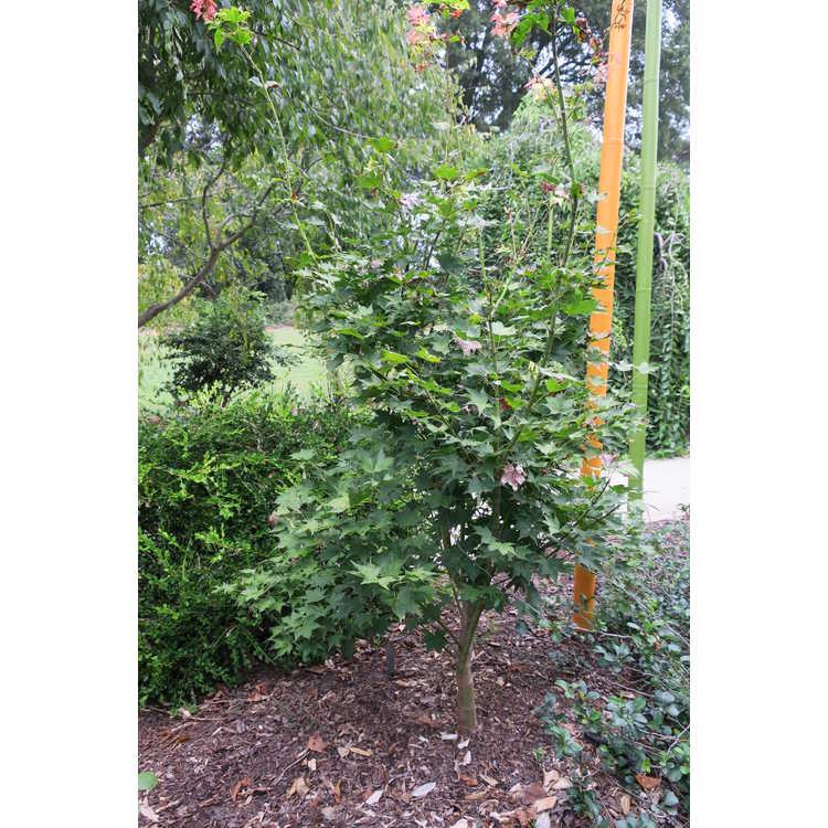 Acer palmatum 'Satsuki Beni'