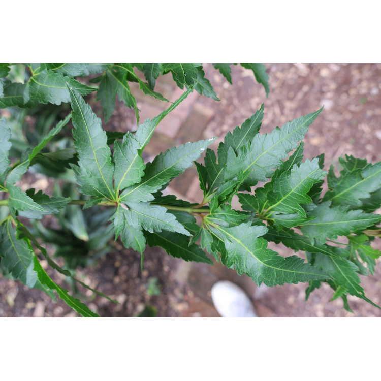Acer palmatum 'Orange Hagoromo'