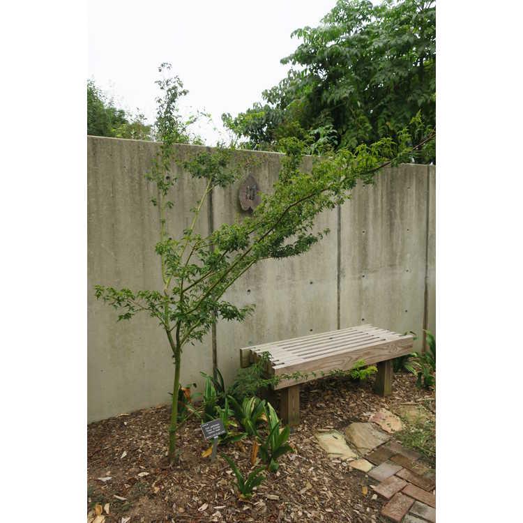 Acer palmatum 'Krazy Krinkle' - Japanese maple
