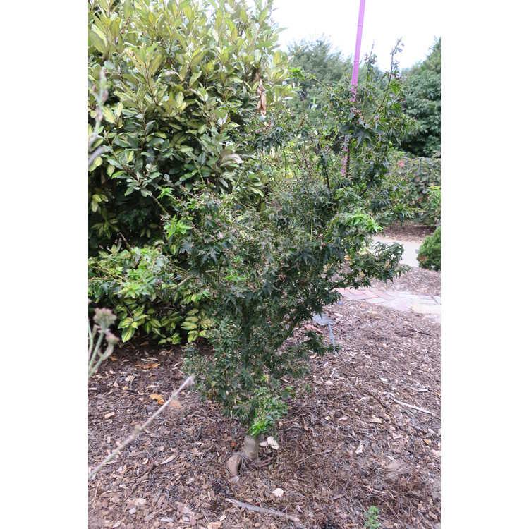 Acer palmatum 'Roja Yatsubusa' - Japanese maple