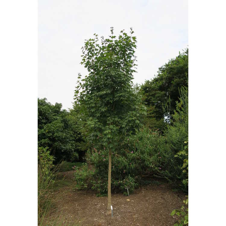 Acer grandidentatum 'Hipazam'