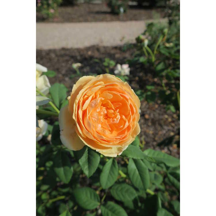 Rosa 'Auswinter' - Crown Princess Margareta shrub