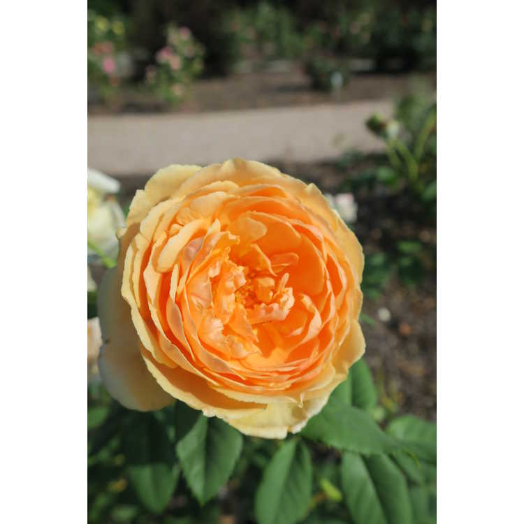 Rosa 'Auswinter'