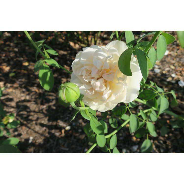 Rosa Ausrelate Lichfield Angel