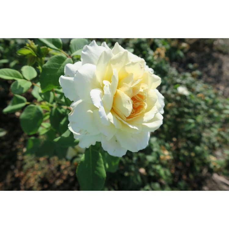 Rosa 'Ausquest' - Crocus Rose shrub rose