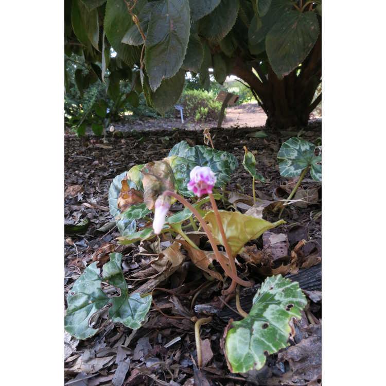 Cyclamen hederifolium (pewter arrowhead form)