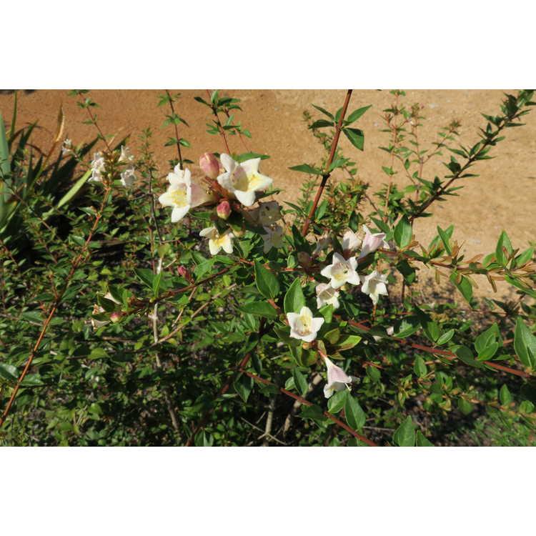 Abelia grandiflora Minduo1 Sunny Anniversary