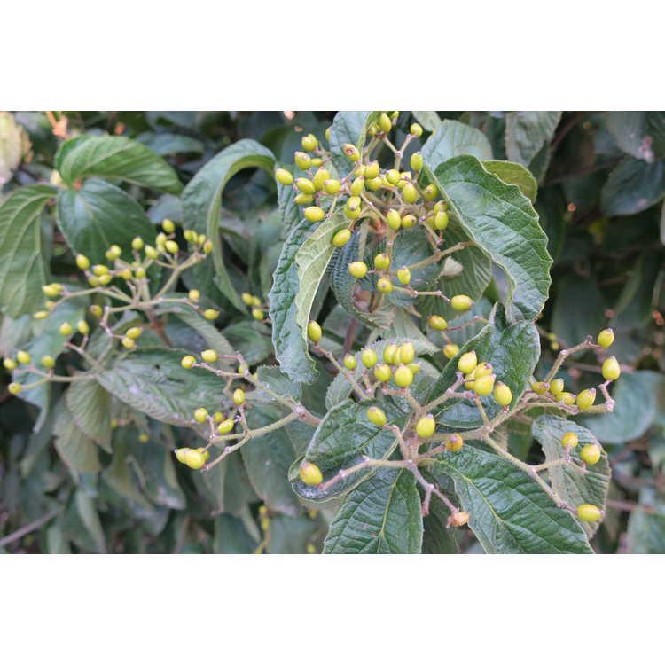 Viburnum dilatatum 'Michael Dodge' - yellow-berry linden viburnum