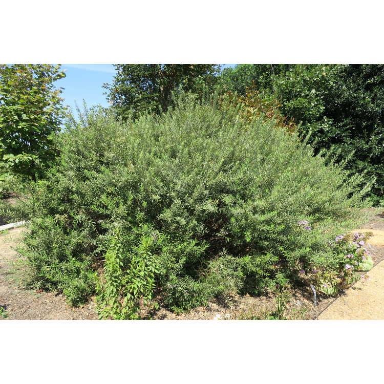 Salix humilis var. tristis - prairie willow