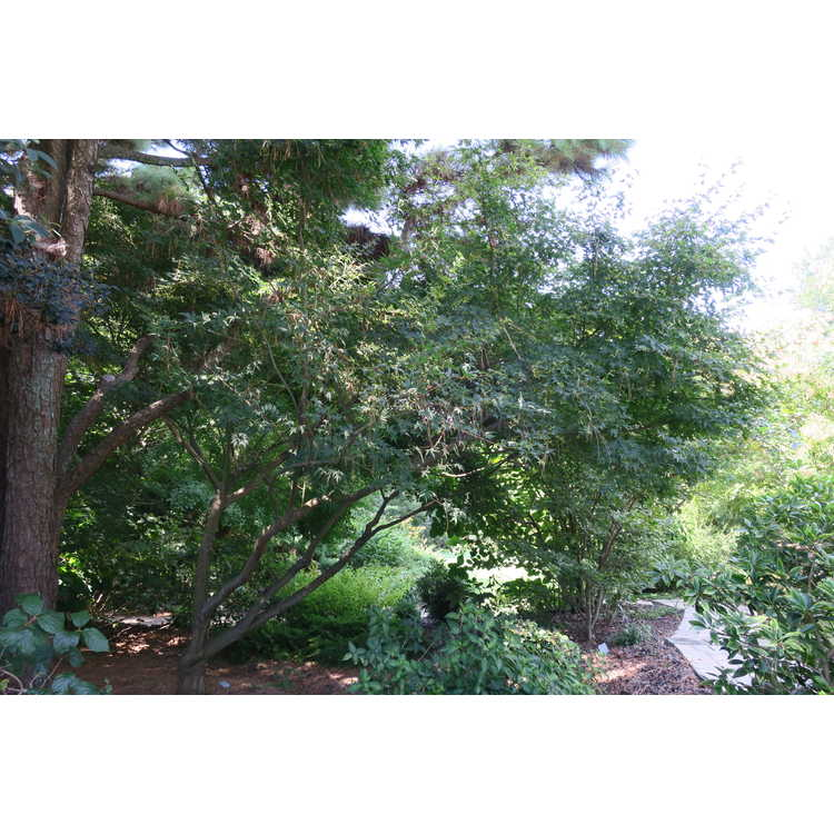 Acer palmatum 'Oridono Nishiki' - variegated chameleon Japanese maple