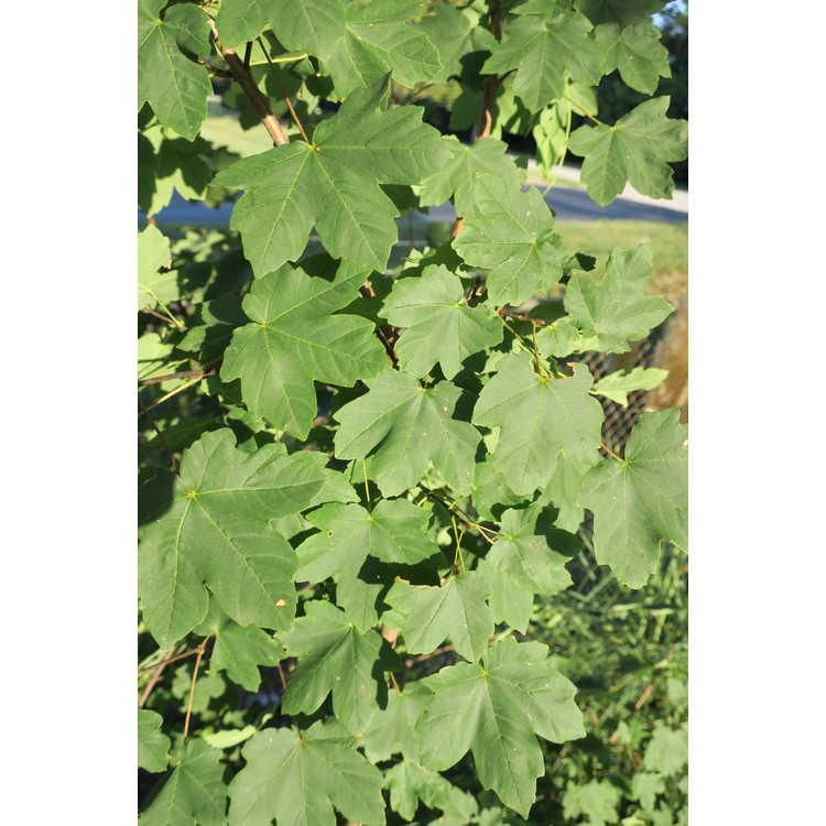 Acer hyrcanum - Balkan maple