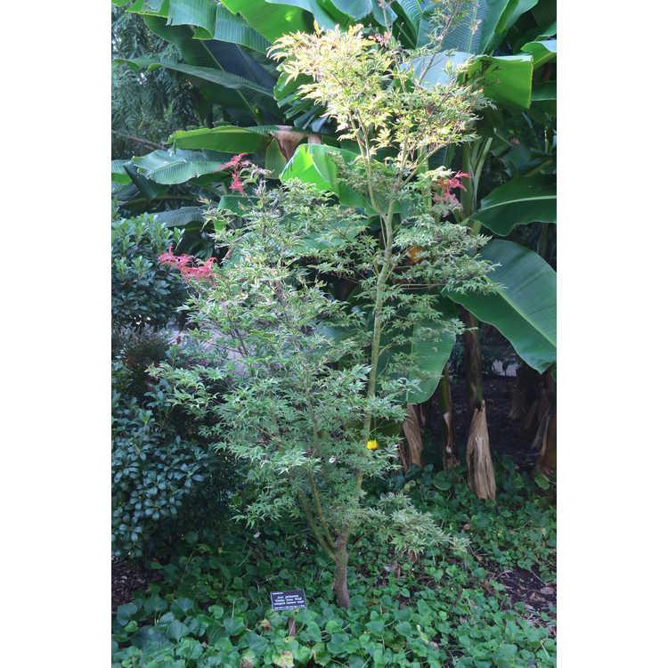 Acer palmatum 'Geisha Gone Wild' - variegated Japanese maple