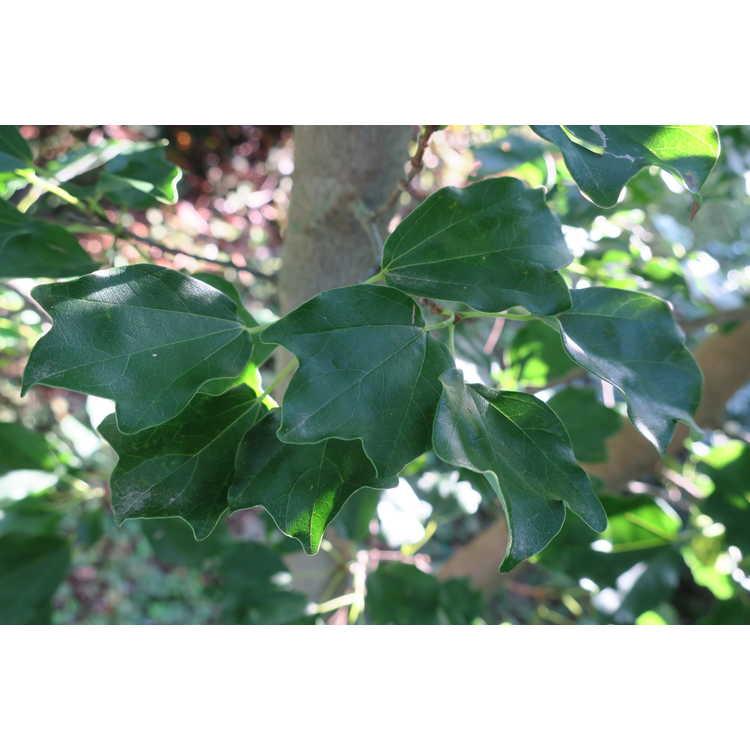 Acer buergerianum var. formosanum - Taiwan trident maple