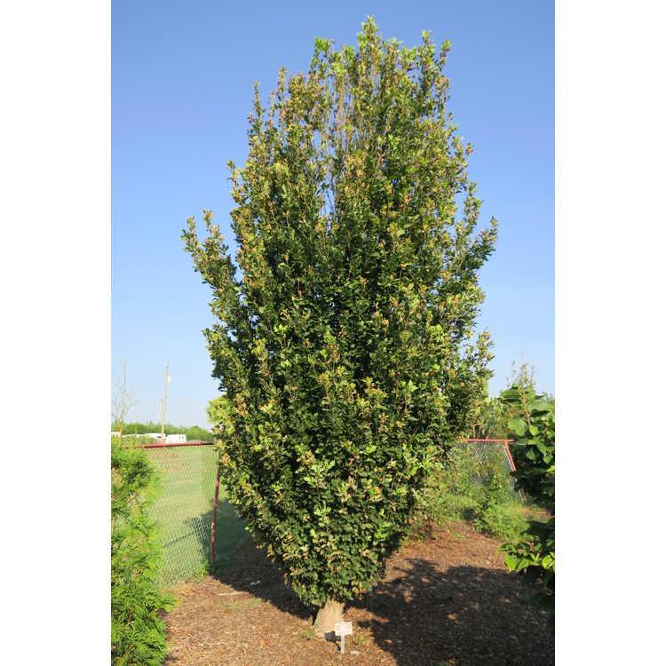 Quercus 'JFS-kw2qx'