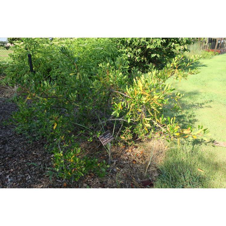 Cyrilla racemiflora 'Graniteville' - weeping swamp cyrilla