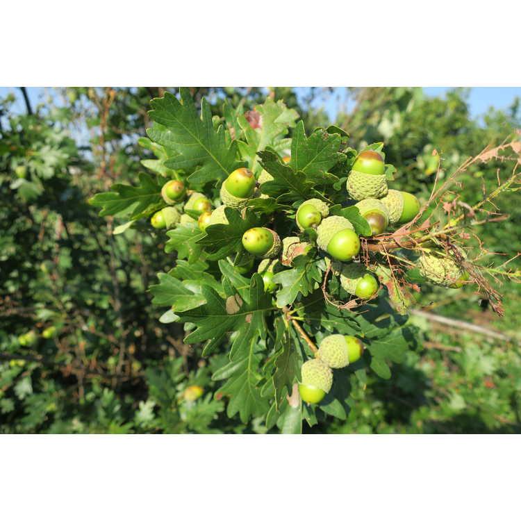 Quercus robur × Q. alba 'Jfs-kw1qx'