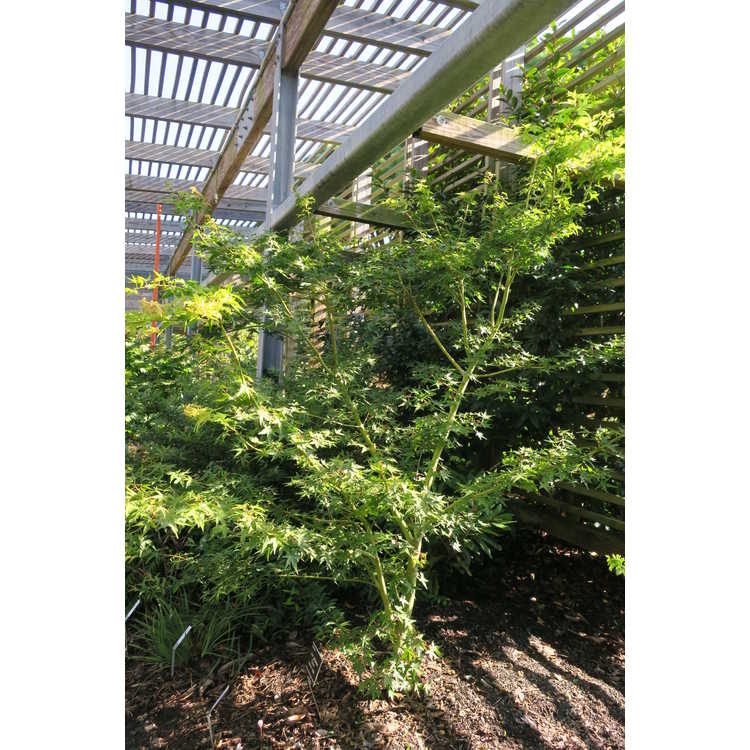 Acer palmatum 'Calico' - Japanese maple