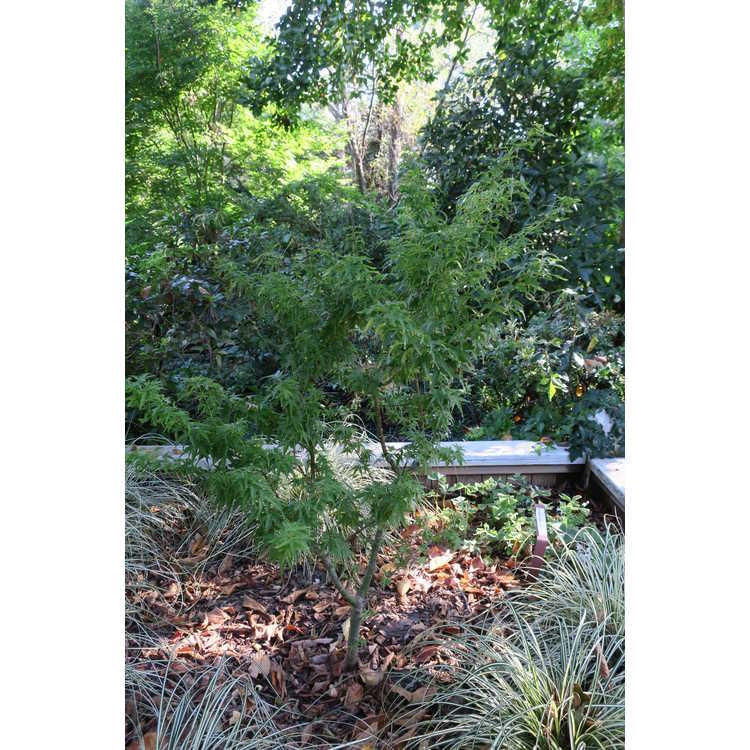 Acer palmatum 'Goshiki kotohime'