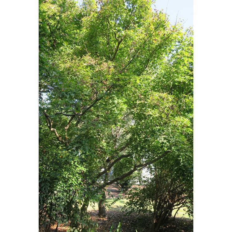 Acer palmatum 'Mama' - tatter-leaf Japanese maple