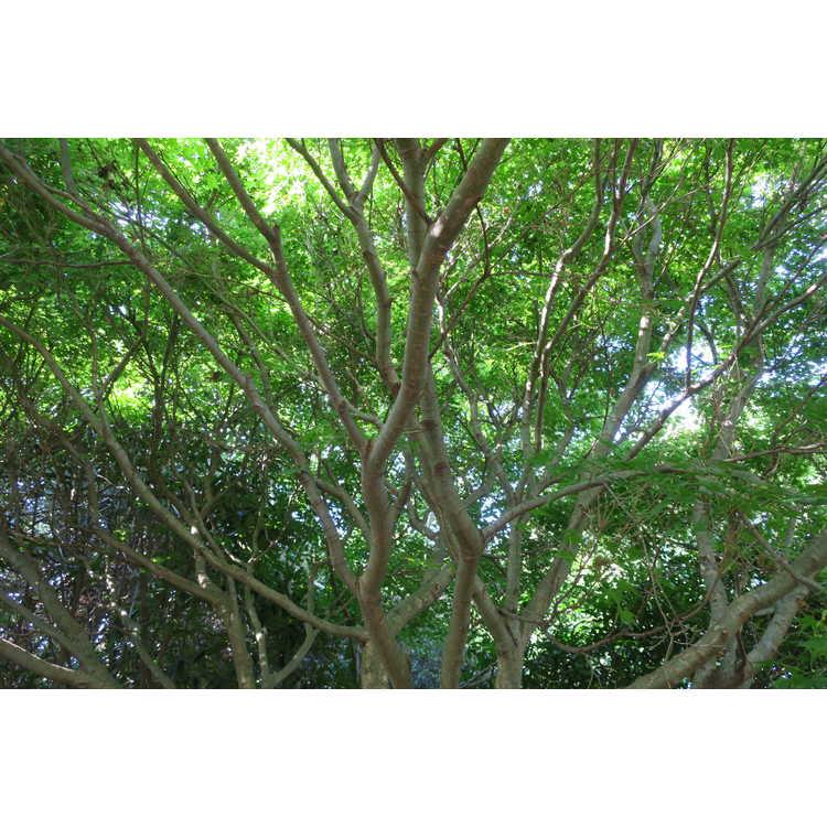 Acer palmatum 'Aoyagi'
