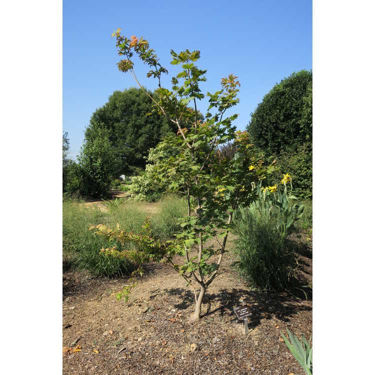 Acer japonicum 'Ô Isami' - full moon maple