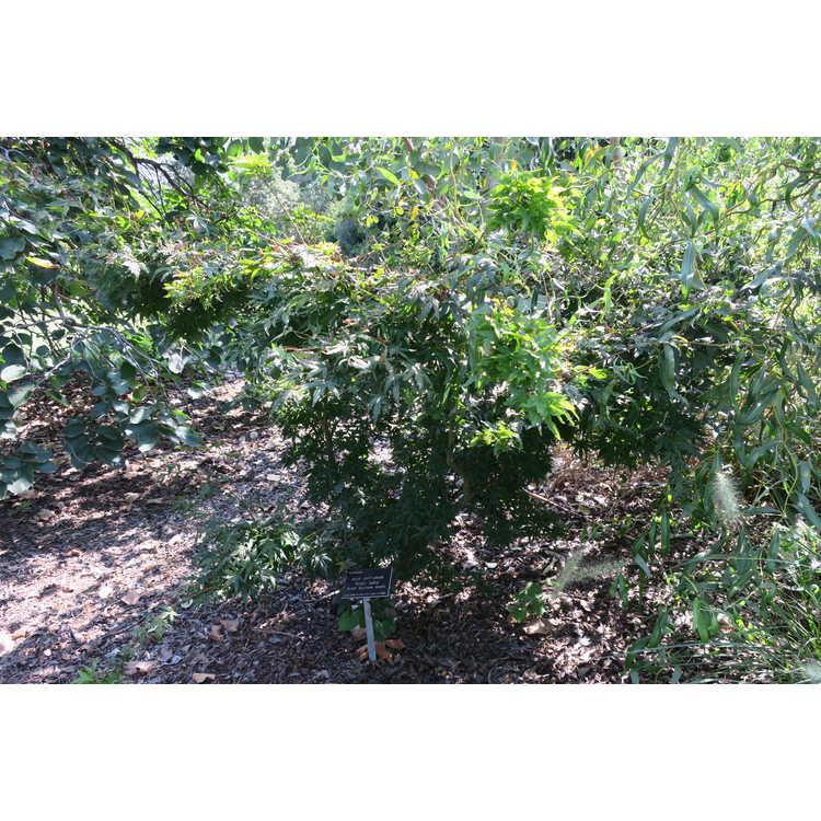 Acer palmatum 'Seiun kaku'
