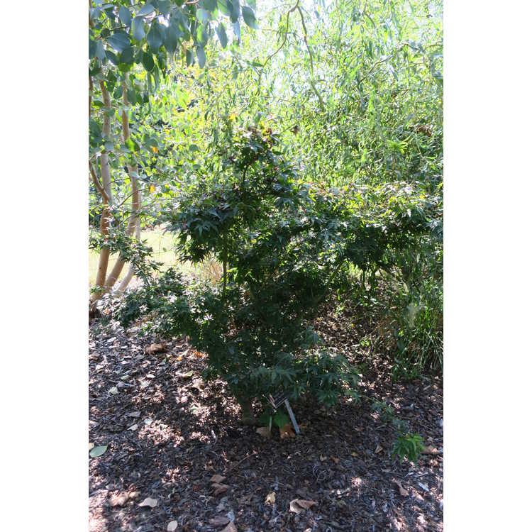Acer palmatum 'Seiun kaku' - dwarf Japanese maple