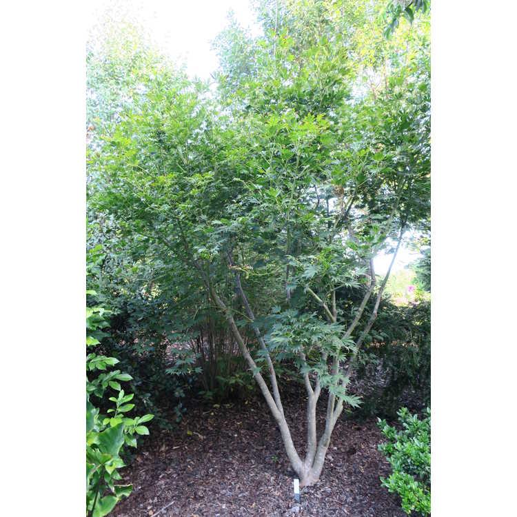 Acer pseudosieboldianum × A. palmatum