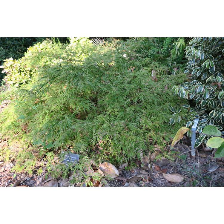 Acer palmatum 'Kiri Nishiki'
