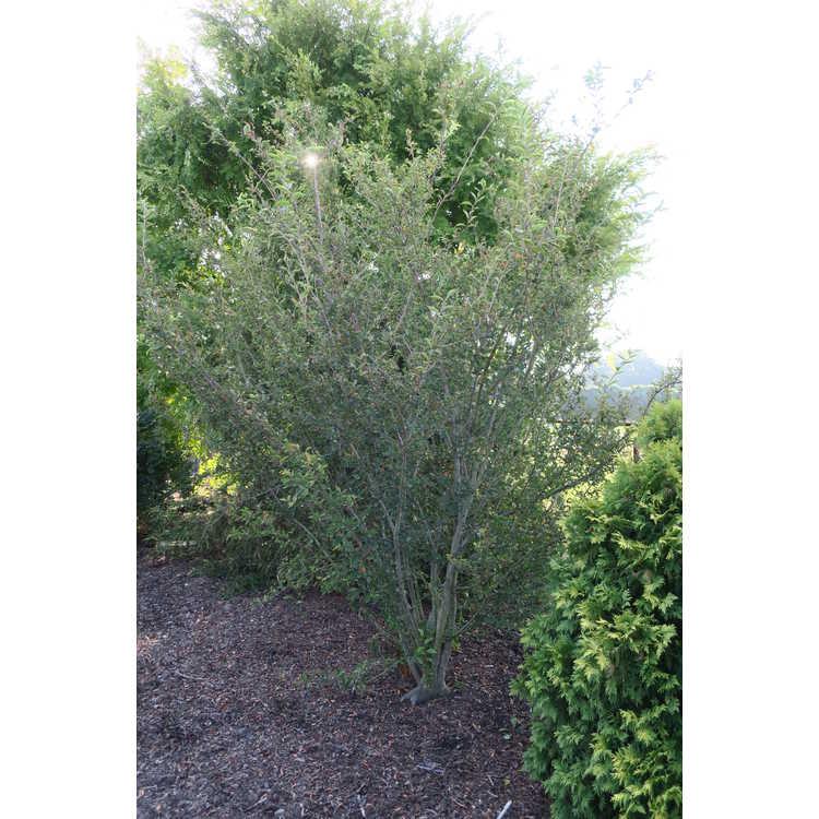 Photinia schneideriana var. parviflora