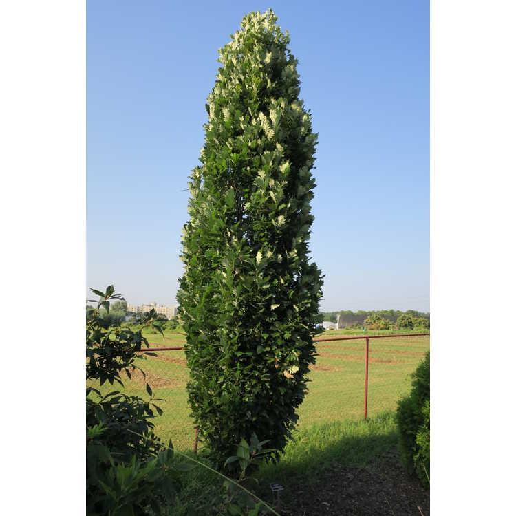 Quercus ×warei 'Nadler'