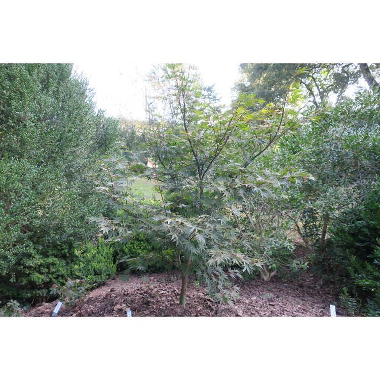 Acer palmatum 'Jeannie's Dream'