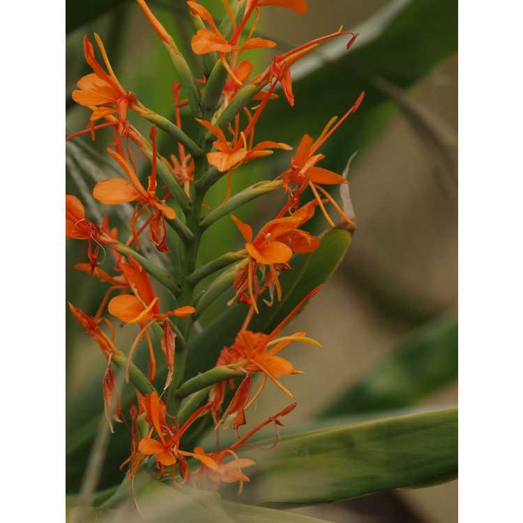 Hedychium gardnerianum 'Tara'
