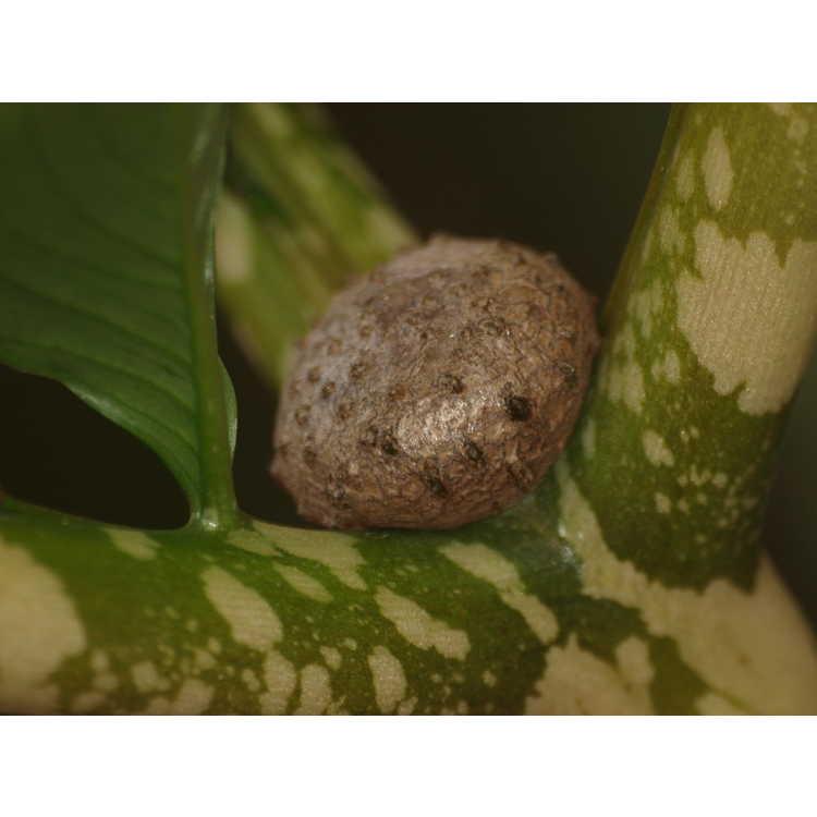 Amorphophallus bulbifer - devil's tongue